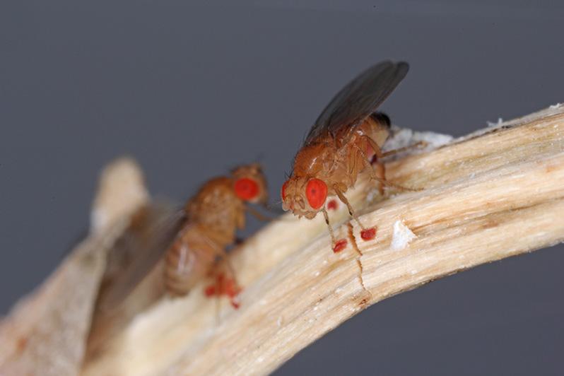 Drosophila w badaniach naukowych